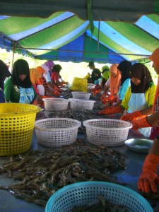 Sorting shrimp1